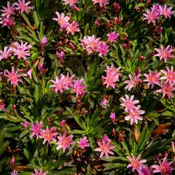 Levisie 'Little Plum' - Lewisia x longipetala 'Little Plum'