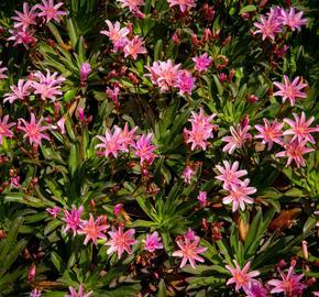 Levisie 'Little Plum' - Lewisia x longipetala 'Little Plum'