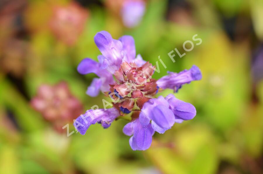 Černohlávek velkokvětý - Prunella grandiflora