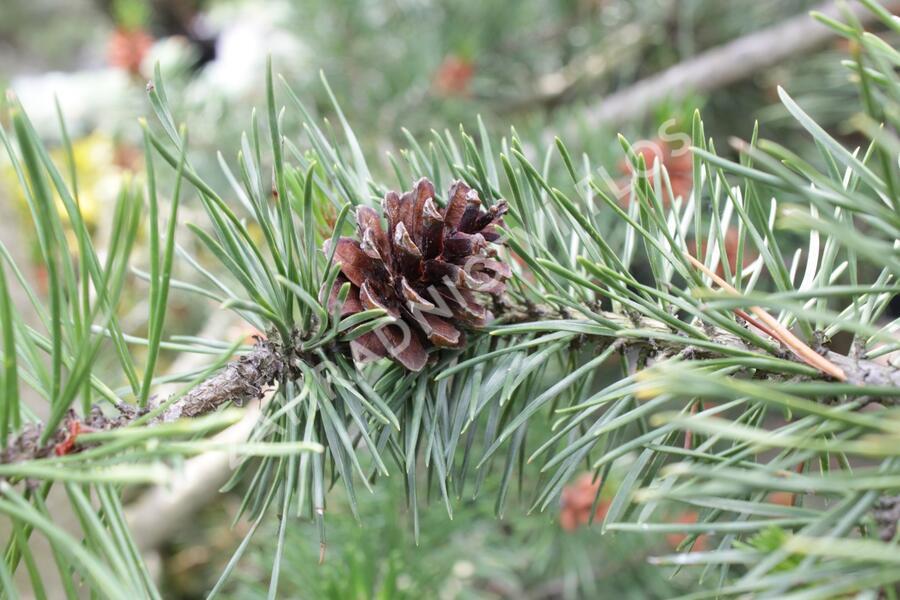 Borovice pokroucená - Pinus contorta