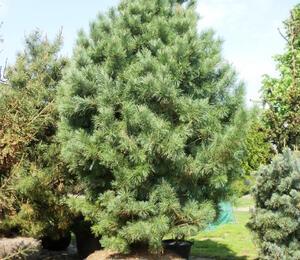 Borovice limba - Pinus cembra