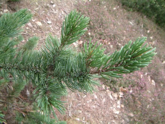 Borovice osinatá - Pinus aristata