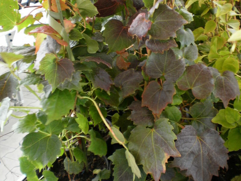 Přísavník trojcípý 'Veitchii Robusta' - Parthenocissus tricuspidata 'Veitchii Robusta'
