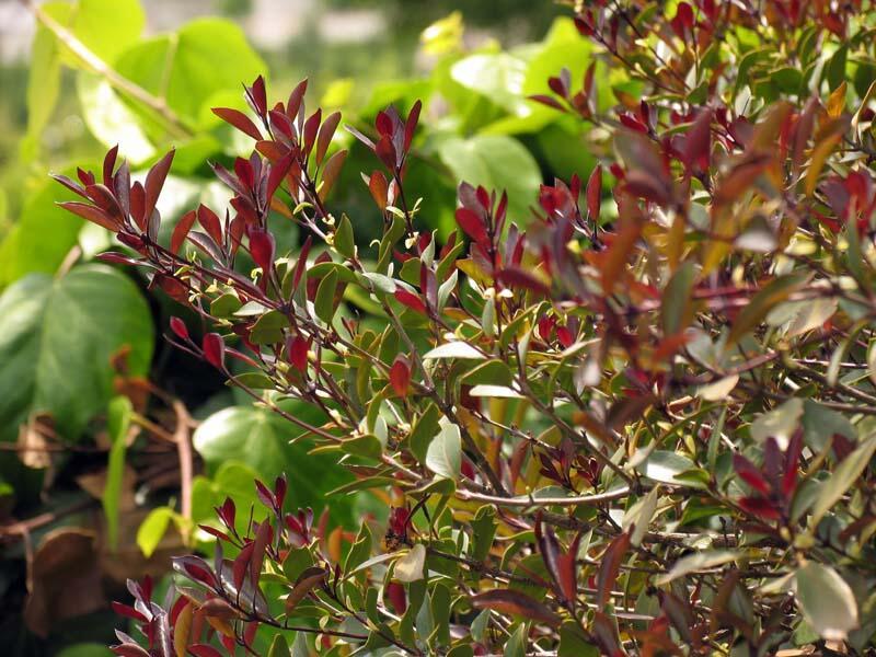 Vonokvětka různolistá 'Purpureus' - Osmanthus heterophyllus 'Purpureus'