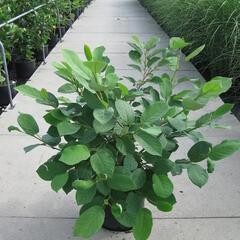 Šácholan - Magnolia sieboldii