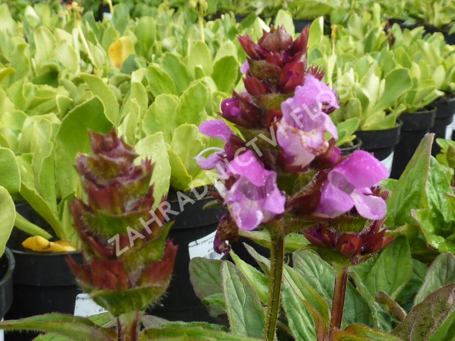 Černohlávek velkokvětý 'Rubra' - Prunella grandiflora 'Rubra'