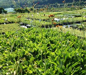 Jestřábník oranžový - Hieracium aurantiacum
