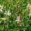 Svíčkovec 'Sparkle White' - Gaura lindheimeri 'Sparkle White'