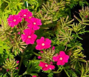 Verbena, sporýš 'Vectura Pink' - Verbena 'Vectura Pink'