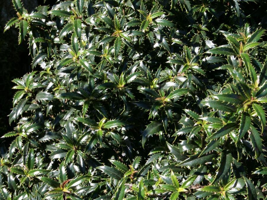 Cesmína obecná 'Heckenzwerg' - Ilex aquifolium 'Heckenzwerg'