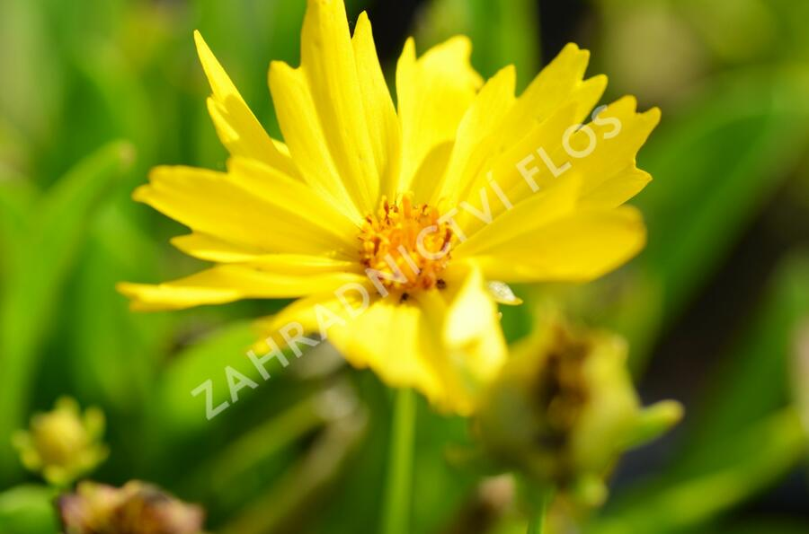 Krásnoočko velkokvěté 'Presto' - Coreopsis grandiflora 'Presto'