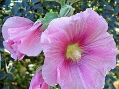 Topolovka růžová 'Spotlight Radiant Rose' - Alcea rosea 'Spotlight Radiant Rose'