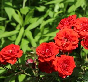 Růže mini 'Miniature Orange' - Rosa MI 'Miniature Orange'