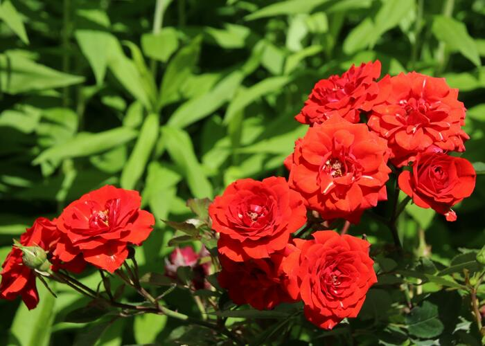 Růže mini 'Miniature Orange' - Rosa MI 'Miniature Orange'