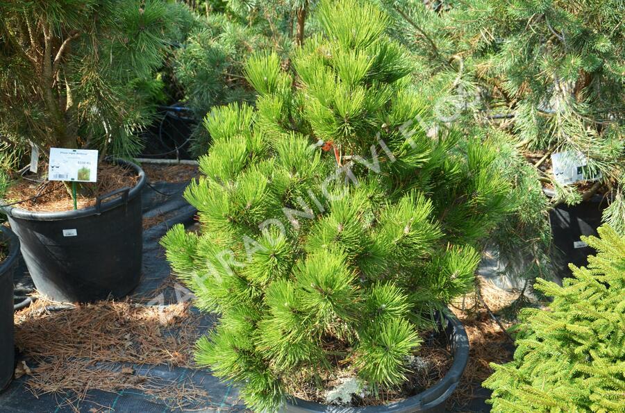 Borovice bělokorá - Pinus heldreichii