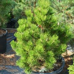 Borovice bělokorá - Pinus heldreichii (leucodermis)