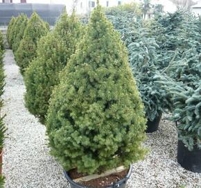 Smrk sivý 'Conica' - Picea glauca 'Conica'