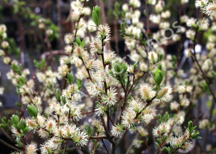 Vrba - Salix onusta