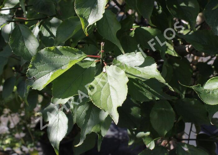 Meruňka japonská 'Beni-shi-dori' - Prunus mume 'Beni-shi-dori'