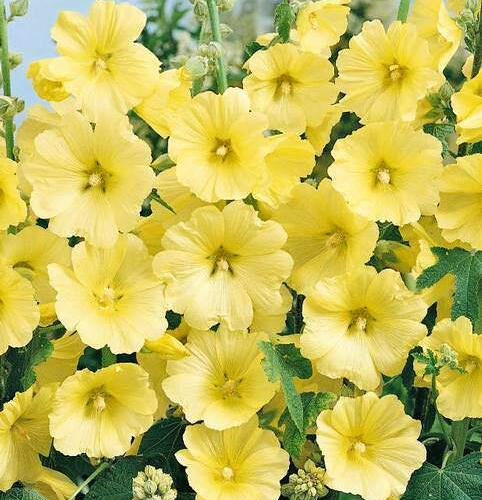 Topolovka růžová 'Spotlight Sunshine' - Alcea rosea 'Spotlight Sunshine'