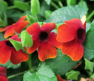 Smatavka, thunbergie 'Brownie' - Thunbergia alata 'Brownie'