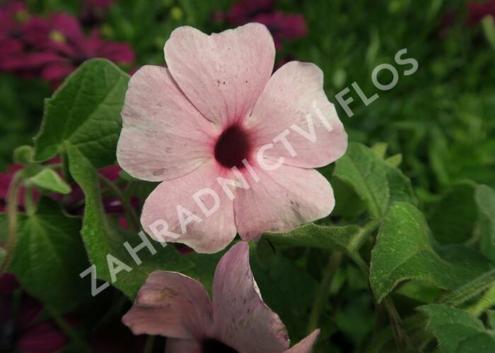 Smatavka, thunbergie křídlatá 'Arizona Rose Sensation' - Thunbergia alata 'Arizona Rose Sensation'