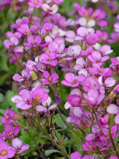 Huseník brvolistý 'Frühlingszauber' - Arabis blepharophylla 'Frühlingszauber'