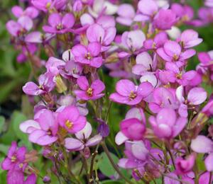 Huseník 'Frühlingszauber' - Arabis blepharophylla 'Frühlingszauber'