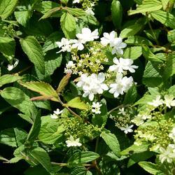 Kalina japonská 'Summer Snowflake' - Viburnum plicatum 'Summer Snowflake'
