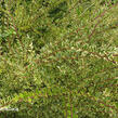 Zimolez lesklý 'Lemon Beauty' - Lonicera nitida 'Lemon Beauty'