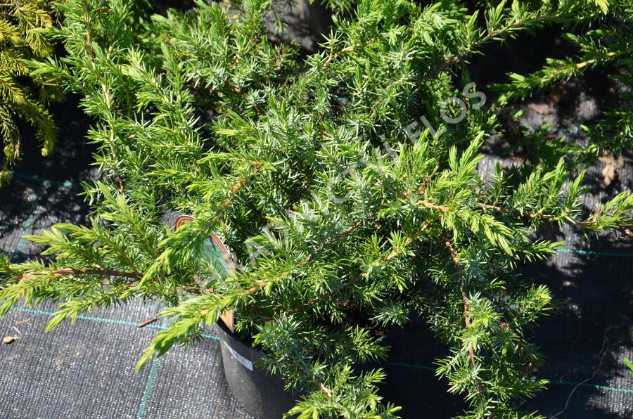 Jalovec pobřežní 'Schlager' - Juniperus conferta 'Schlager'