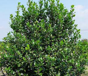 Cesmína 'Blue Stallion' - Ilex meserveae 'Blue Stallion'