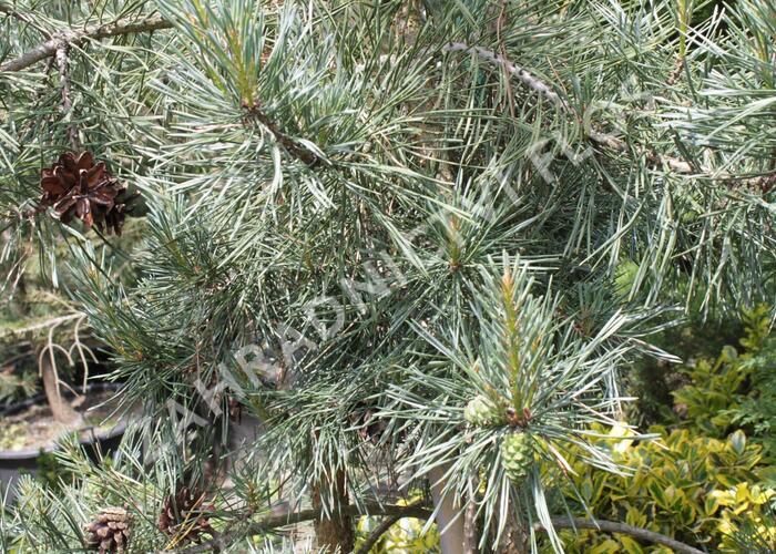 Borovice lesní 'Argentea' - Pinus sylvestris 'Argentea'