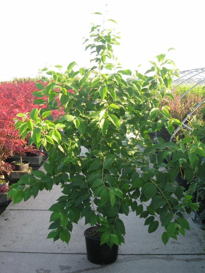 Halézie karolínská - Halesia carolina