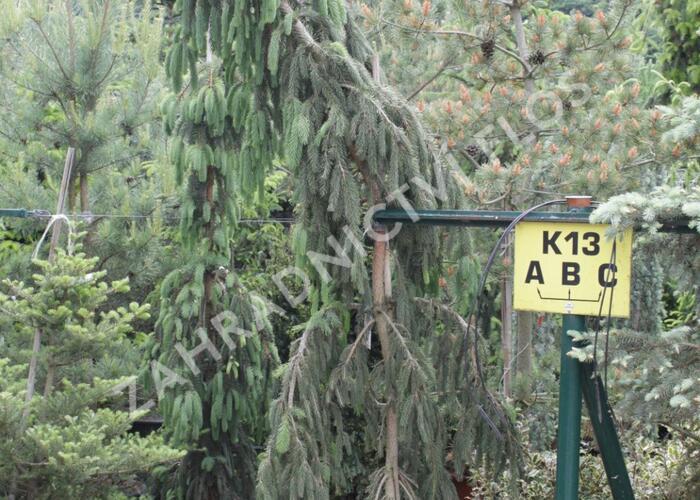 Smrk ztepilý 'Pruhoniciana' - Picea abies 'Pruhoniciana'