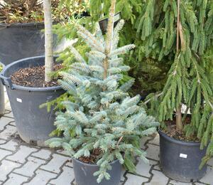 Smrk pichlavý 'Fat Albert' - Picea pungens 'Fat Albert'