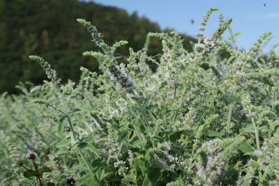 Máta dlouholistá 'Gine' - Mentha longifolia 'Gine'