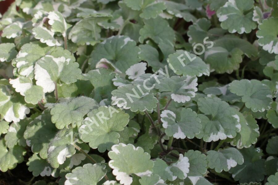 Popenec břečťanovitý 'Variegata' - Glechoma hederacea 'Variegata'