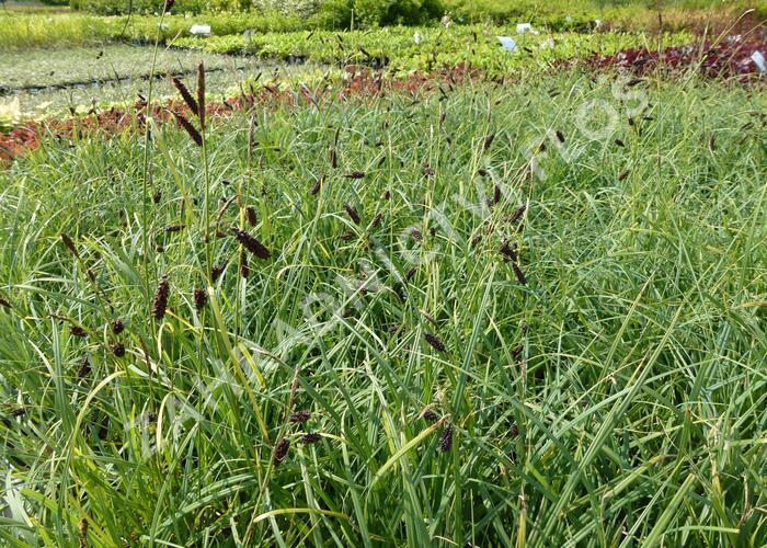 Ostřice tmavá - Carex atrata