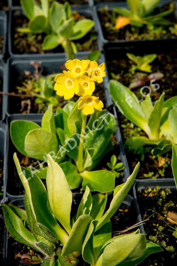 Prvosenka lysá - Primula auricula (alpina)