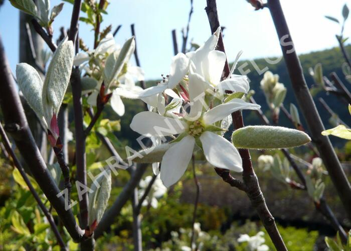 Muchovník vejčitý 'Edelweiss' - Amelanchier rotundifolia 'Edelweiss'