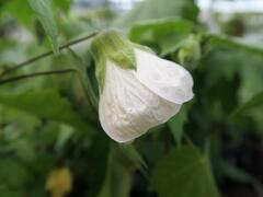 Mračňák 'White King' - Abutilon hybridus 'White King'