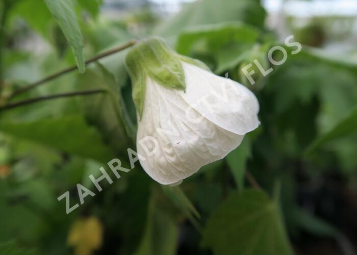 Mračňák  'White King' - Abutilon hybridus 'White King'