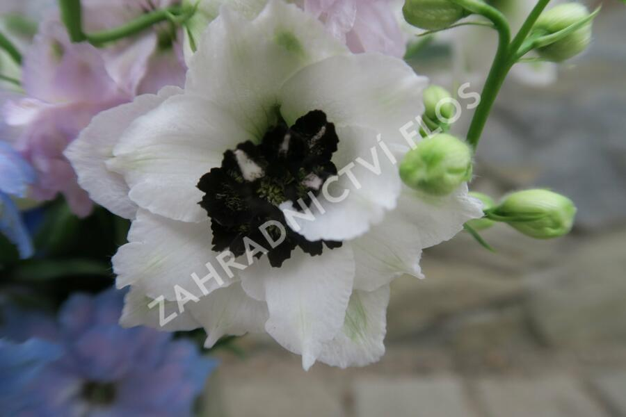 Ostrožka vyvýšená 'New Millenium Black Eyed Angels' - Delphinium elatum 'New Millenium Black Eyed Angels'