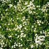 Šater plazivý 'Filou Weiß' - Gypsophila repens 'Filou Weiß'
