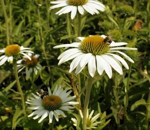 Třapatka nachová 'Prairie Splendor Compact White' - Echinacea purpurea 'Prairie Splendor Compact White'