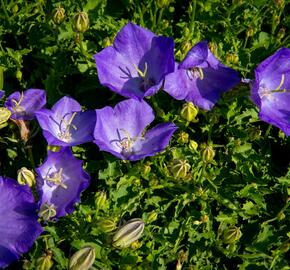 Zvonek karpatský 'Pristar Deep Blue' - Campanula carpatica 'Pristar Deep Blue'