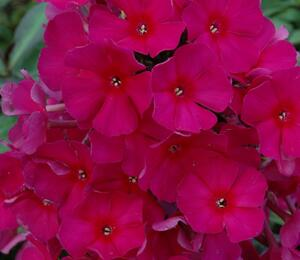 Plamenka latnatá 'Sweet Summer Red' - Phlox paniculata 'Sweet Summer Red'