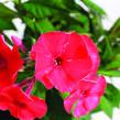 Plamenka latnatá 'Sweet Summer Red' - Phlox paniculata 'Sweet Summer Red'