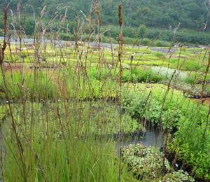 Bezkolenec modrý 'Dauerstrahl' - Molinia caerulea 'Dauerstrahl'